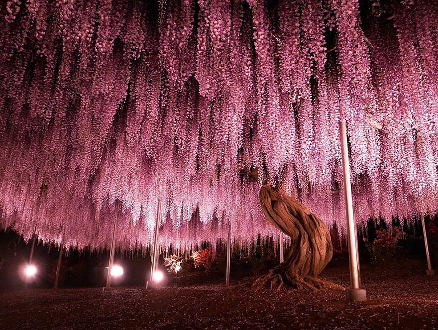 粉紫色天空 日本144年的浪漫紫藤花