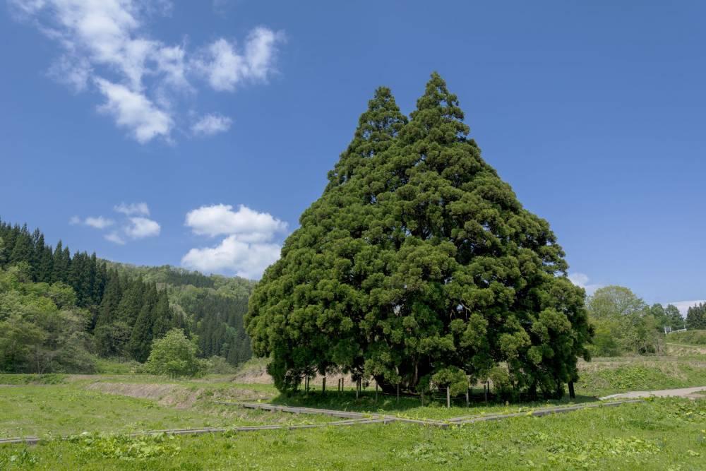 明天就出發:山形縣─讓人想抱緊的「龍貓之樹」小杉の大杉 - La Vie行動家 設計改變世界