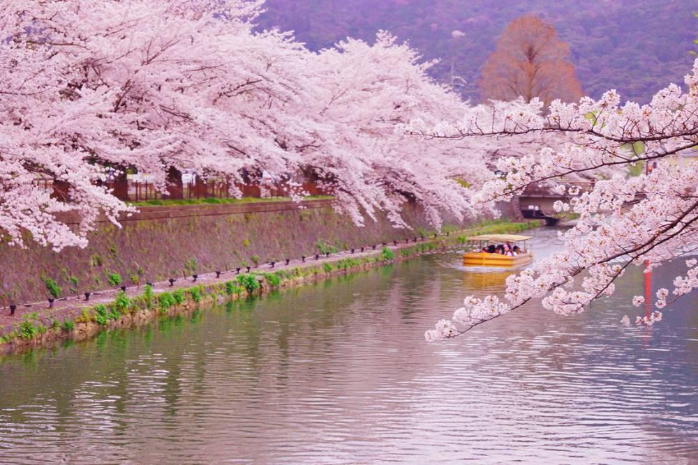 春日浪漫搭船賞櫻花!京都「岡崎櫻迴廊十石舟」讓你遊河沉浸粉紅花海